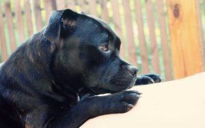 MARIKA Staffordshire bull terrier